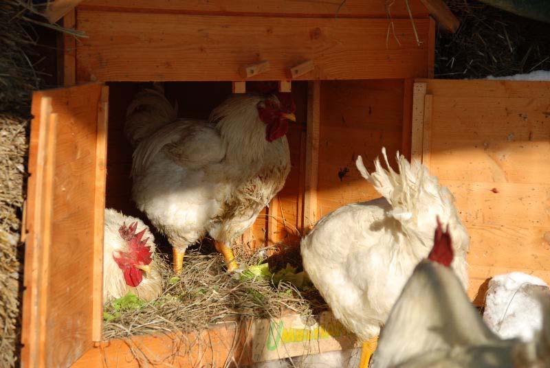 Frohe Ostern -  oh my love, Hühner - ein Bekennerschreiben (5/6)